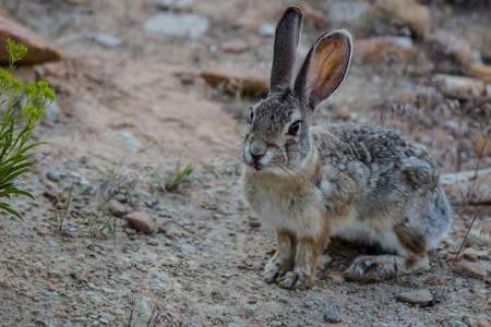 twitch: small rabbit in arid area of dinosaur national monument