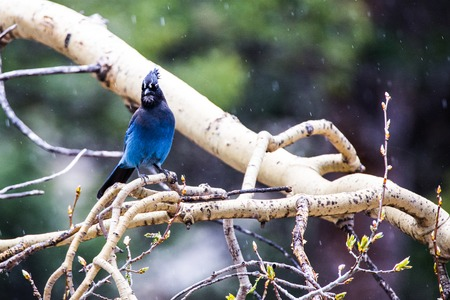 bluejay: Steller Jay perched on a tree branch with a snow coming down in the rockies