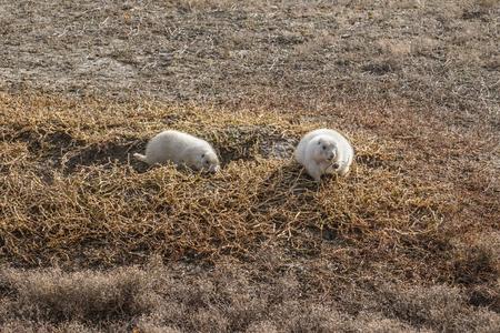 albino: albino prairie dog badlands national park south dakota