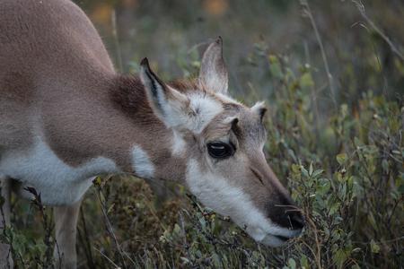 south dakota: Closeup of pronghorn antelope buck in Custer State Park, South Dakota Stock Photo
