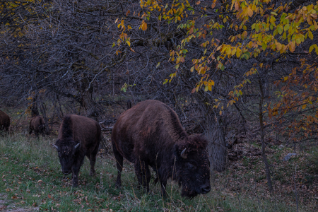 great plains: American buffalo bison herd grazing in Custer State Park, South Dakota Stock Photo