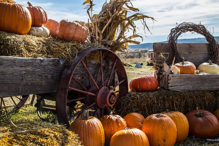 typ: Pumpkin patch field with different typ of huge pumpkins for halloween or thanksgiving holiday.