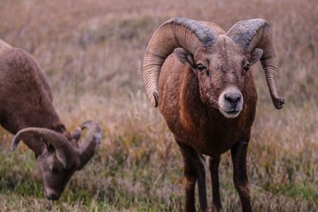 rocky mountain bighorn sheep: Big horn sheep in the Badlands National Park South Dakota.