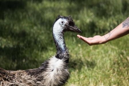 emu: alimentar al sur de Australia de emú en el parque de la fauna Cleland