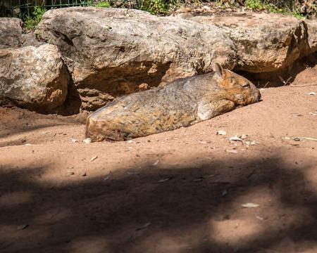 wombat: Wombat en el parque de la fauna Clealand sur de Australia Foto de archivo