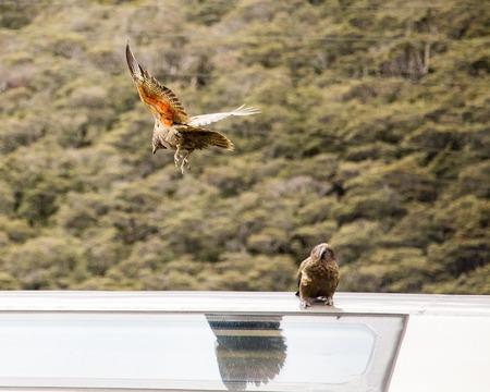 ar: Kea New Zealand Bird ar train station