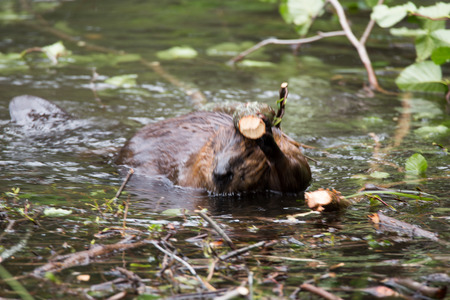 semi aquatic: Wild beavers at Horseshoe Lake Denali national park Alaska North America