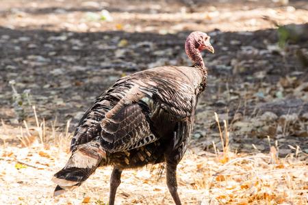 turkey hen: A wild turkey hen or female feeding on a spring day. Stock Photo