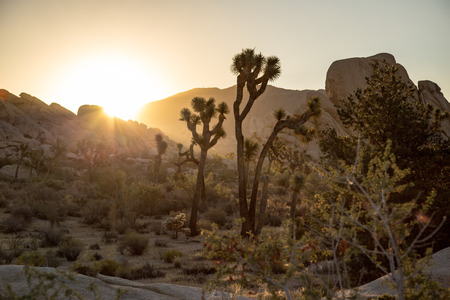 joshua: Silhouette of Joshua Tree in National park sunrise