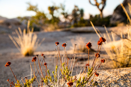 joshua tree national park: Winter Buckwheat california joshua tree national park