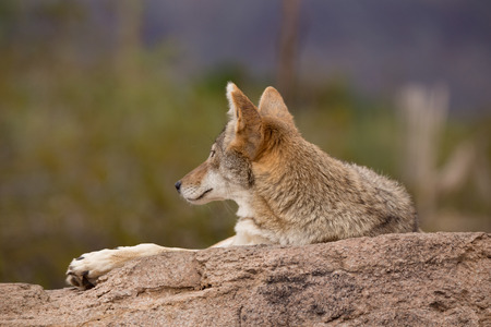 lounging: Desert Coyote arazona lounging on a rock grooming