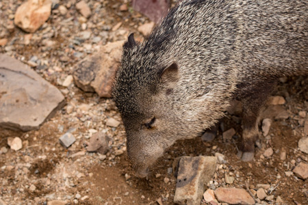 plantlife: Javelina walks through desert south west arazona