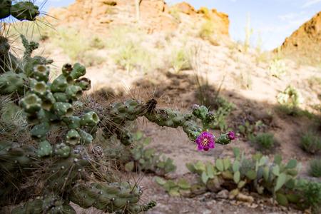 tuscon: Flowering cactus high desert arizona tuscon national park