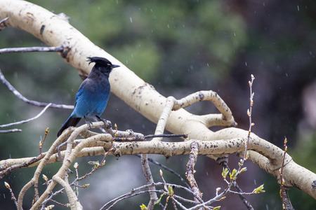 rocky mountain: Stellar Jay near Bear Lake in Rocky Mountain National Park