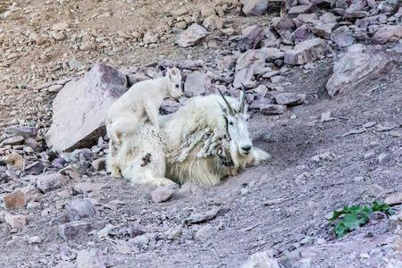 mountain goats: Mountain goats Glacier National Park Montana UNESCO Stock Photo