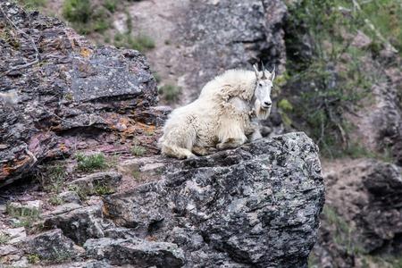 mountain goats: Mountain goats Glacier National Park Montana