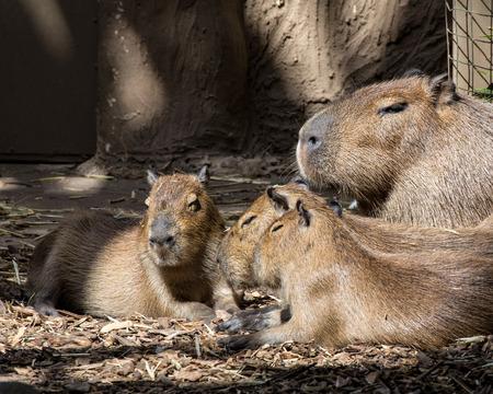 gregarious: Close up of a Capybara Hydrochoerus hydrochaeris babies