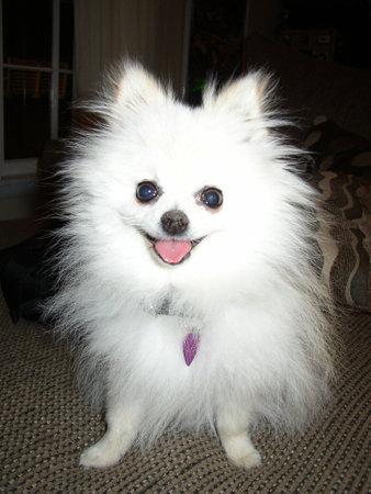 Dwarf Pomeranian