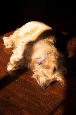 A Wire-haired Dachshund Dog