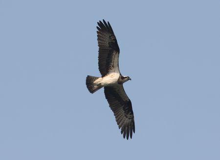 osprey: Osprey hunting fish