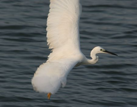 egret fly above pool Stock Photo - 4941713