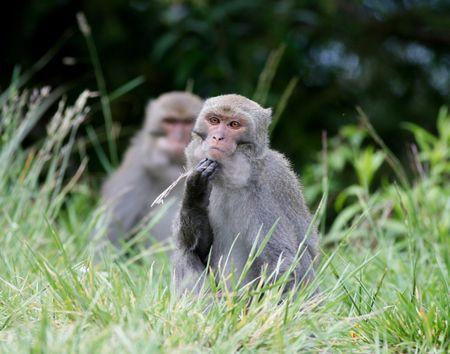 macaque: Macaque de Ta�wan Banque d'images