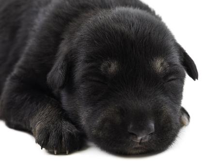Indian Street Small Dog Also Know as Puppy Dog or Black Puppy Dog isolated on White Background Stock Photo