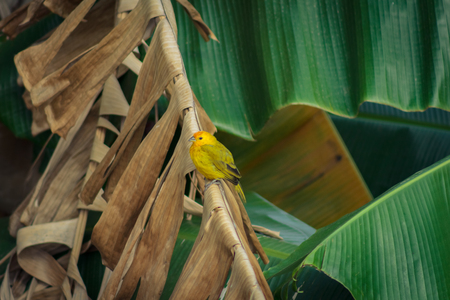 little yellow bird in venezuela