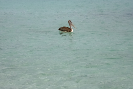 beautiful pelican on the sea Stock Photo