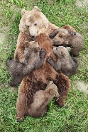Brown bears with babies Stockfoto