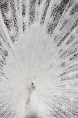 peafowl: Whte Peafowl Stock Photo