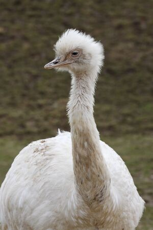 rhea: White greater rhea Stock Photo