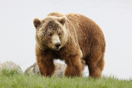 grizzly bear: Brown bear in nature