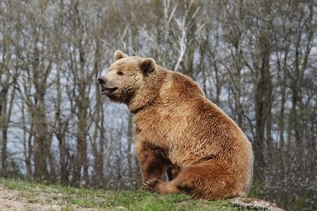 grizzly: L'ours brun dans la nature