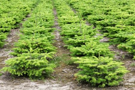 Nordmann fir plantation in Denmark Stockfoto