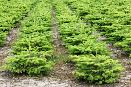 Nordmann fir plantation in Denmark Stock Photo