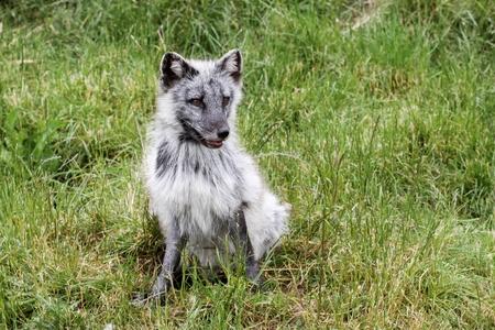 pelage: Arctic fox