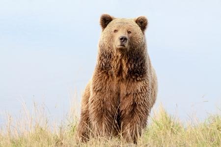 Bruine beer in de natuur Stockfoto - 45920078