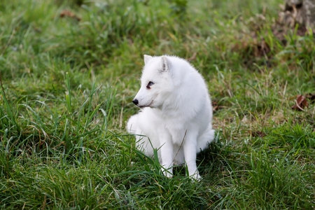 canid: Arctic fox in the nature