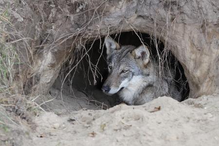 burrow: Wolf in a burrow