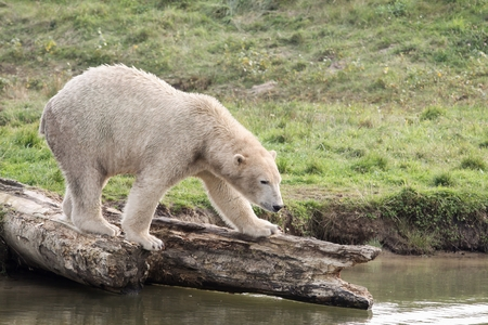polar bear on the ice: White polar bear in nature Stock Photo