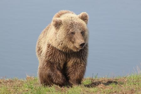Bruine beer in de natuur