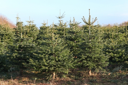 Nordmann fir plantation in Denmark for Christmas market