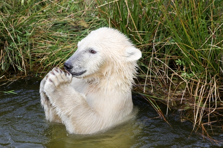 polar bear on ice: Polar bear playing in the water Stock Photo
