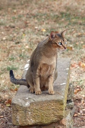 abyssinian cat: Abyssinian cat on a bench