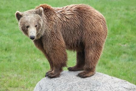 岩の上の茶色のクマ