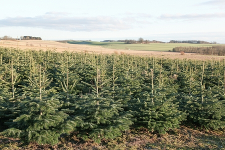 Nordmann fir plantation for Christmas market in Denmark
