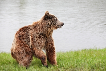 Brown bear in the nature