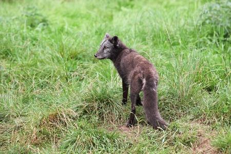 Arctic fox in the summer