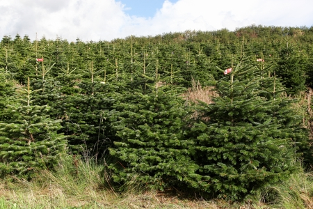 Nordmann fir plantation in Denmark Stock fotó